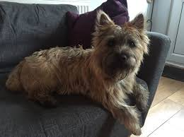 cairn hair cuts 68 best cairn terrier images on pinterest cairn terrier cairn