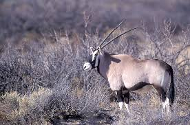 New Mexico wildlife images Operation game thief tip helps catch oryx poacher new mexico jpeg