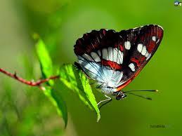 butterfly wallpaper 34