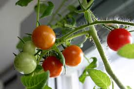 the apartment harvest 6 vegetables to grow indoors u2013 realfarmacy com
