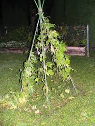 whatever happened to the pole bean teepee jimmy cracked corn
