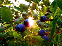 growing blueberry bushes tips for blueberry plant care