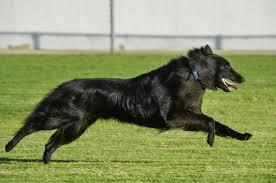 belgian sheepdog california tikos earned his ca title u2013 blackforest belgian sheepdogs