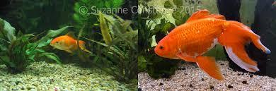 sizes of popular fish species injaf