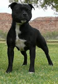 american pitbull terrier 7 months bull terrier dog breed information idw