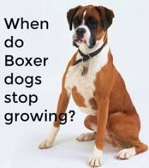 boxer dog uncontrollable head shaking is it lawful to crop the ears of the boxer dog