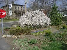 weeping cherry tree ebay