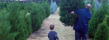 christmas trees caring for your tree devine acres farm family