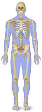 Anatomy Of Human Body Bones Number Of Bones In Human Body Skeleton Facts Dk Find Out