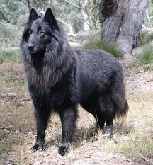 belgian sheepdog malinois belgian shepherd dog groenendael if dogs looks like their