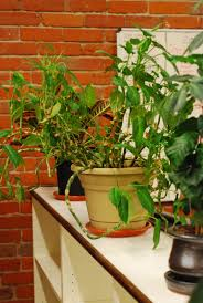 Our Favorite Plants How To by Plant Office Plants For Sale Bright Office Food U201a Beloved Office