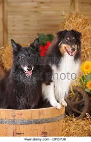 belgian sheepdog forum belgian shepherd dog mouth stock photos u0026 belgian shepherd dog