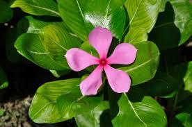 Vinca Flower Information - catharanthus wikipedia