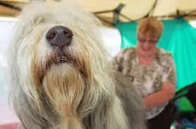 bearded collie montreal gallery summer classic dog show