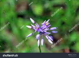 purple flowering australian native plants west australian native wild flower purple stock photo 124802959