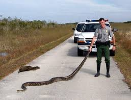 Pythons In Florida Map by Burmese Python Among Four Snakes To Be Banned From Importation