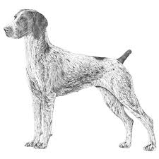 affenpinscher vs german shepherd german shorthaired pointer dog breed information american kennel