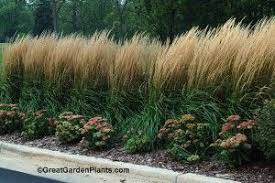 ornamental grass for privacy screen great garden plants