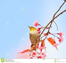 white eye bird on cherry blossom tree stock image image of botanic