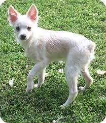american eskimo dog short hair saylor adopted puppy smyrna ga american eskimo dog