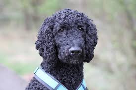 standard poodle hair styles standard poodle hairstyles dog life photo