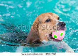 young beagle dog play toy rim stock photo 376976419 shutterstock