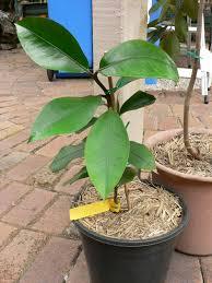 australian native plants for sale mangosteen purple tree