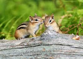 chipmunks cute furry animal facts 15 fun facts