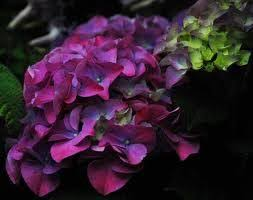 purple hydrangea hydrangea turned purple thriftyfun