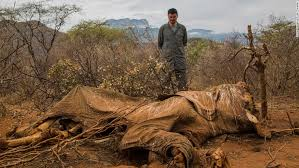 poachers kill satao beloved kenyan elephant known for giant tusks