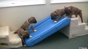 3 month boxer dog cute 4 week old boxer puppies playing youtube