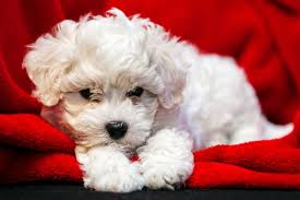 bichon frise long hair small dogs that don u0027t shed american kennel club