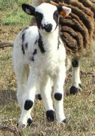 2017 lambs ruby peak farmsregistered jacob sheep
