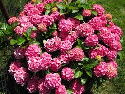 pink hydrangea forever pink hydrangea grammar tales