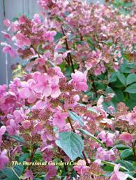 hydrangea p u0027quick fire u0027 burns bright for summer and fall the