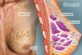 Female Breast Anatomy And Physiology The Breast Human Anatomy Picture Function Conditions U0026 More
