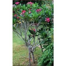 plumeria rubra frangipani cha gulchin live ornamental