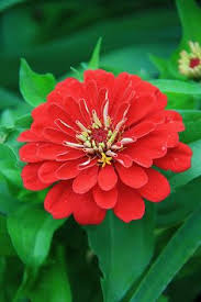 Zinnias Flowers Zinnia Zinnias Flowers And Flower
