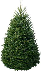 fraser fir tree premium fraser fir nyc trees
