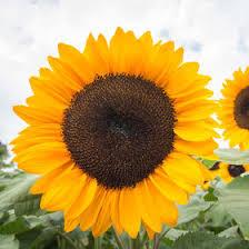 sunflower seeds organic varieties johnny u0027s selected seeds