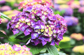 hydrangea flowers hydrangea flower meaning flower meaning