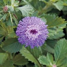 bachelor buttons button beauty bachelor s buttons seeds