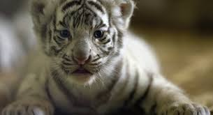 four white tiger cubs born in japanese zoo sputnik