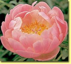 Peonies For Sale Contrary Mary U0027s Specialty Plants Peonies