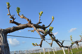 vineyard trellis building and u201cwine u201d joke u2013 homegrown iowan