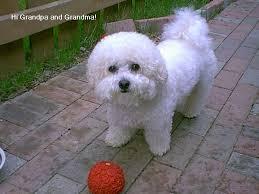 havanese vs bichon frise anyone own a havanese golden retrievers golden retriever dog