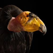 california condor national geographic