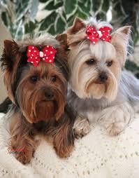yorkie hairstyles photo gallery best 25 yorkshire terrier haircut ideas on pinterest yorkie