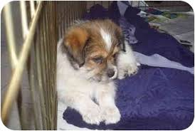 australian shepherd indiana jacob adopted puppy warsaw in australian shepherd shih tzu mix