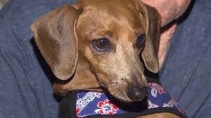pet dachshund u0027tinkerbell u0027 found alive and well after mudslides in
